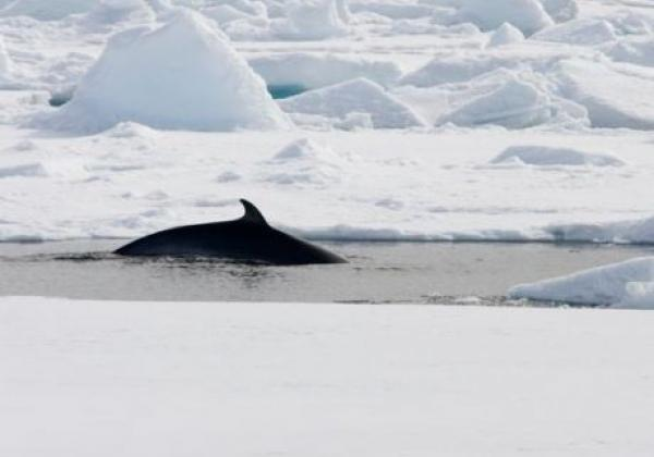 wal-in-spitzbergen.jpg