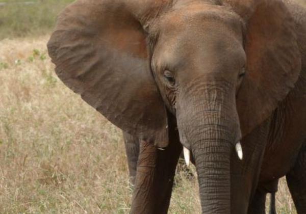 elefant-in-der-steppe.jpg