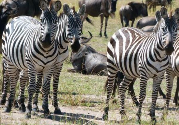 zebras-in-tansania.jpg