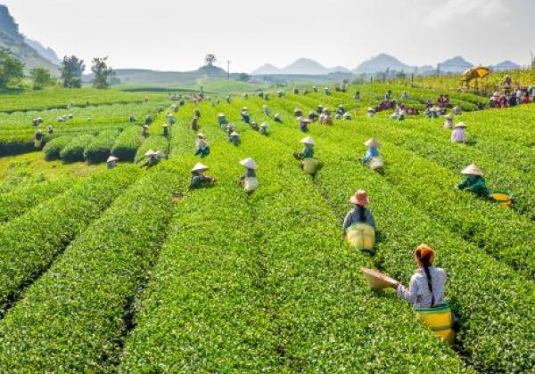 moc-chau-tea-garden