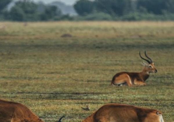 gazellen-kämpfen