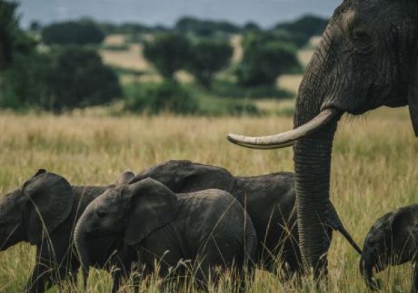 elefanten-in-uganda