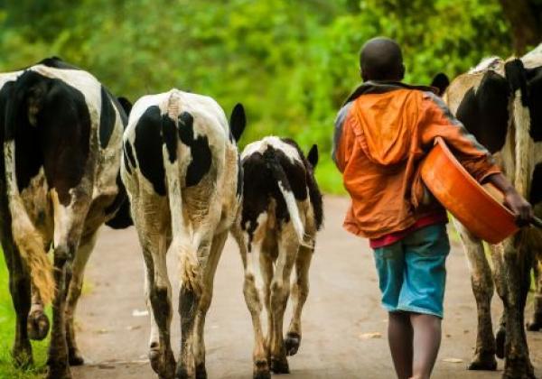kühe-in-uganda