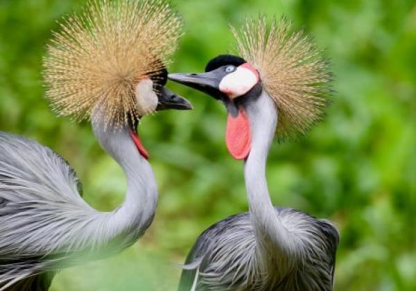 vögel-in-uganda-the-grey-crowned-crane