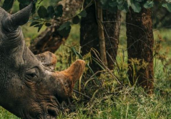 nashorn-in-uganda