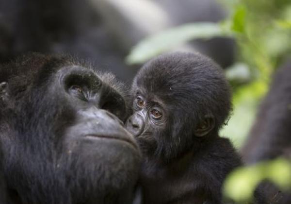 baby-gorilla-küsst-mama