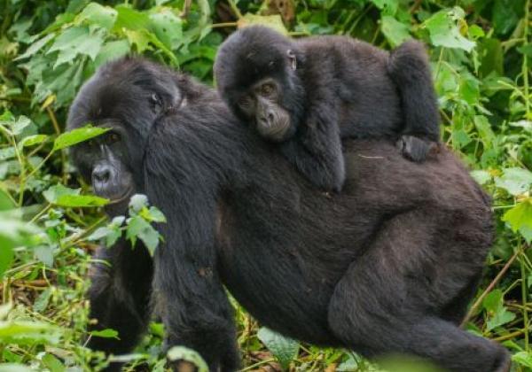 gorilla-mama-mit-kind
