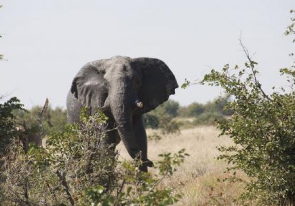 elefant-stellt-ohren-auf