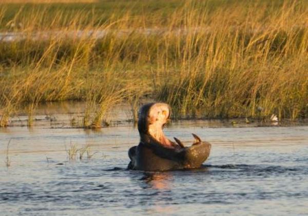 flusspferd-im-chobe-nationalpark