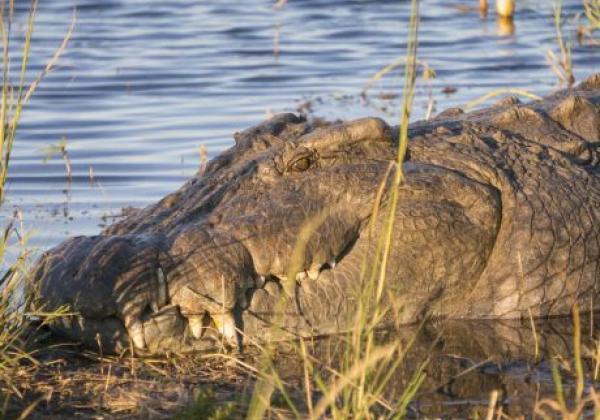 krokodil-im-chobe-fluss
