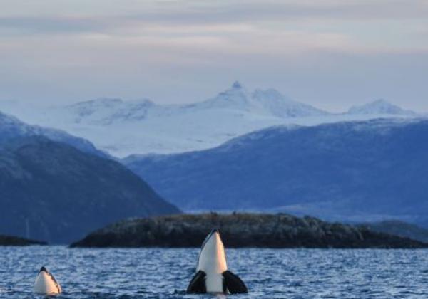 orca-taucht-auf