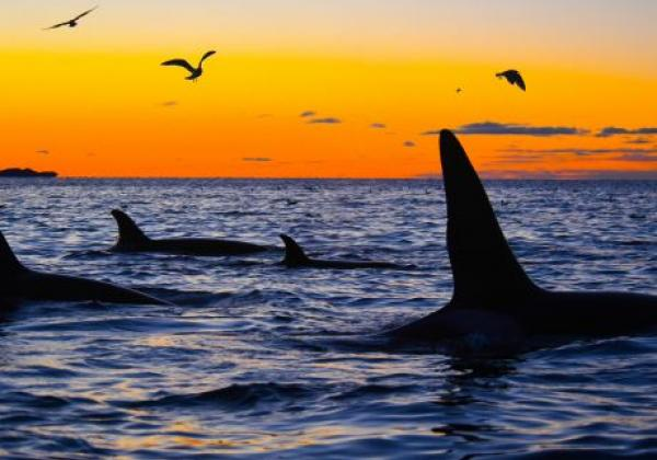 orcas-im-sonnenuntergang