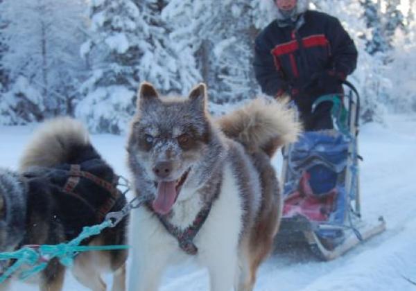 im-wald-mit-den-schlittenhunden