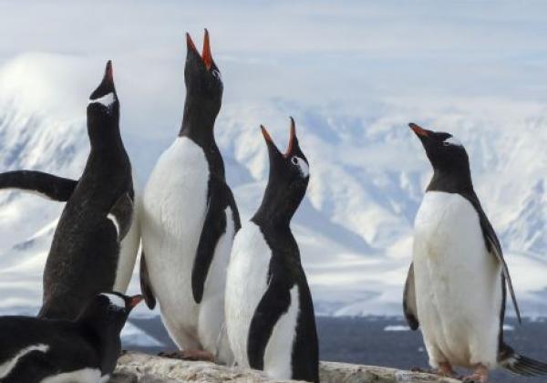 gentoo-pinguine-recken-den-hals