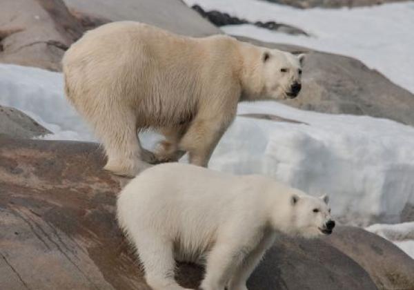 eisbärenpaar