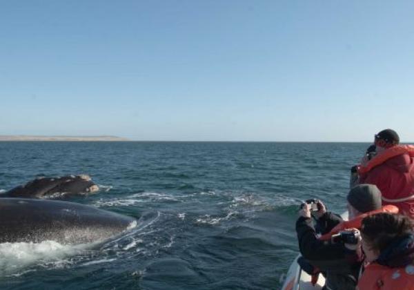 whalewatching-in-argentinien