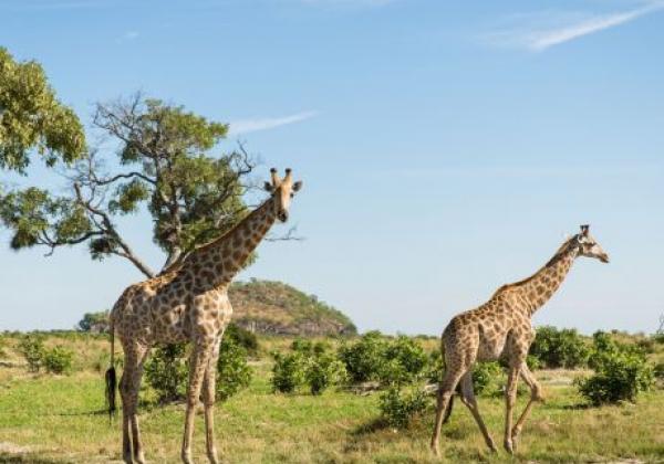 2-giraffen