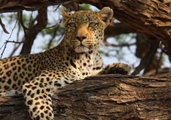leopard-ruht-sich-aus