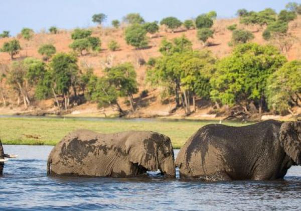 elefanten-durchqueren-fluss