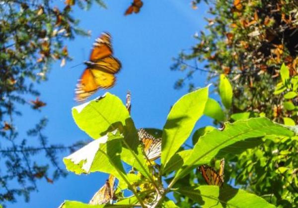 wunderschöne-monarchfalter
