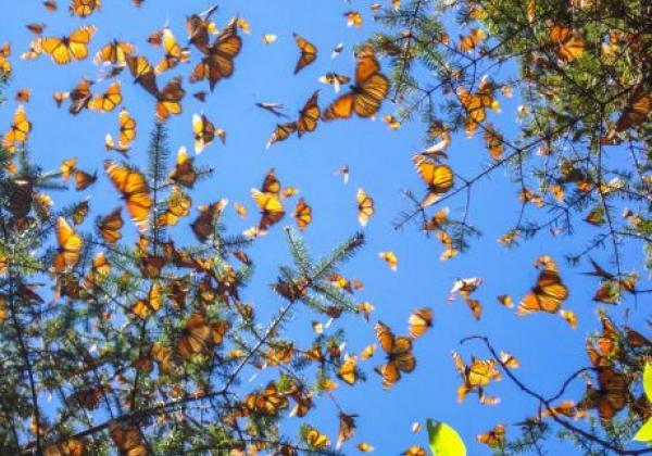 monarchfalter-von-unten