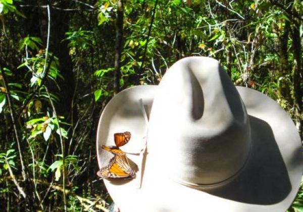 monarchfalter-auf-hut