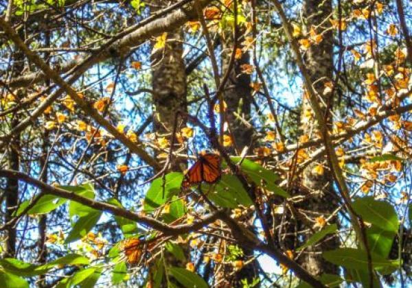 monarchfalter-in-den-bäumen