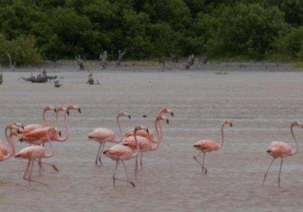 flamingos-in-celestun