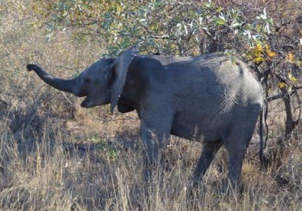elephant-in-sa