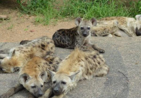 hyaenen-kruger