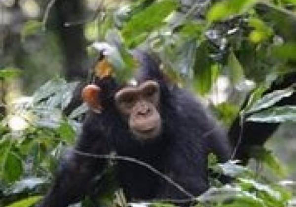 baby-schimpanse-bugata