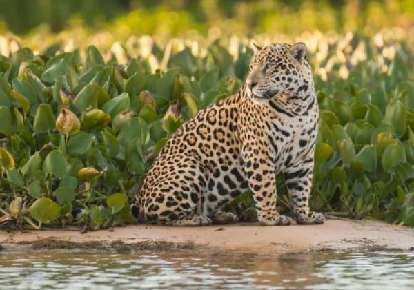 jaguar-nord-pantanal-20130810-2-ad-me