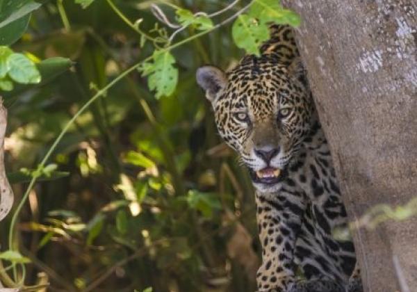 jaguar-sued-pantanal-20150821-ad-me