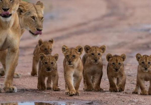 löwenfamilie-in-südtansania