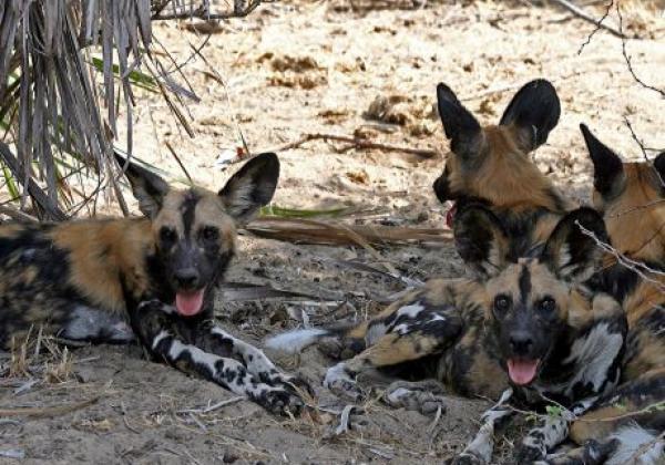 wildhunde-in-selous