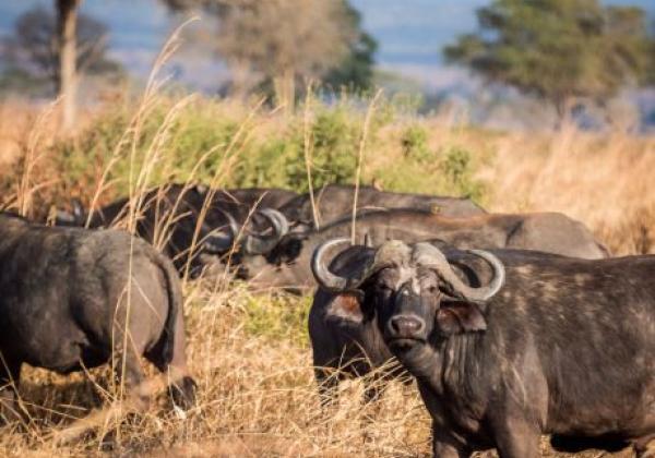 büffel-in-mikumi