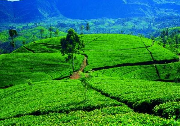 hill-country---rolling-tea-estates-02