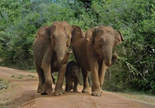 yala-national-park---elephents