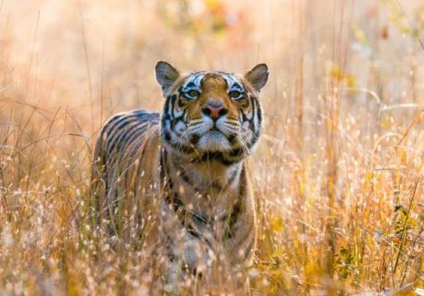 tiger-im-kanaha-nationalpark