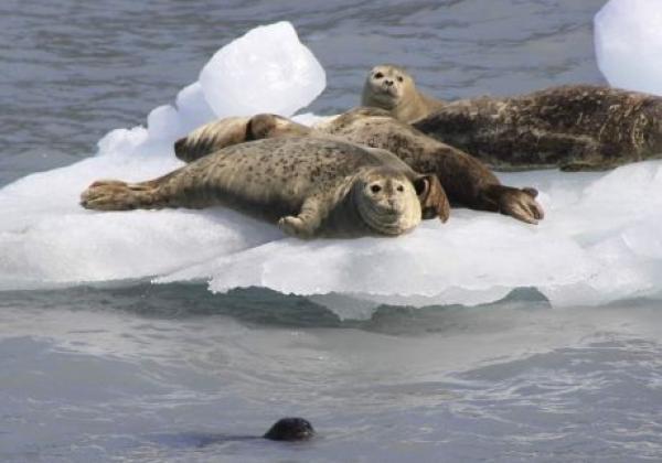 xl-day-3---seals,-columbia-glacier-cruise,-valdez