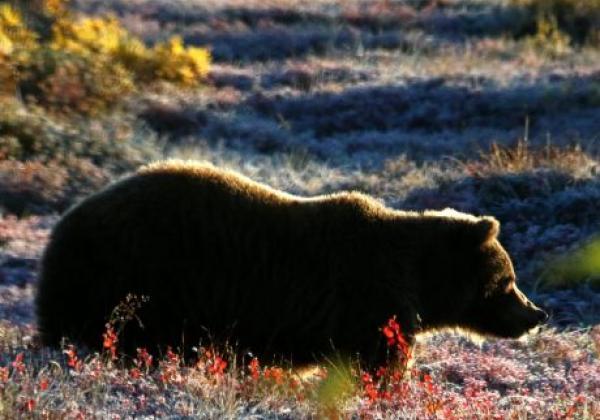 day-3---xl-day-7---brown-bear-denali-park.jpg