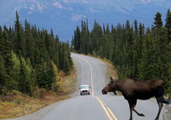 day-3---xl-day-6---moose-on-road-denali-park.jpg