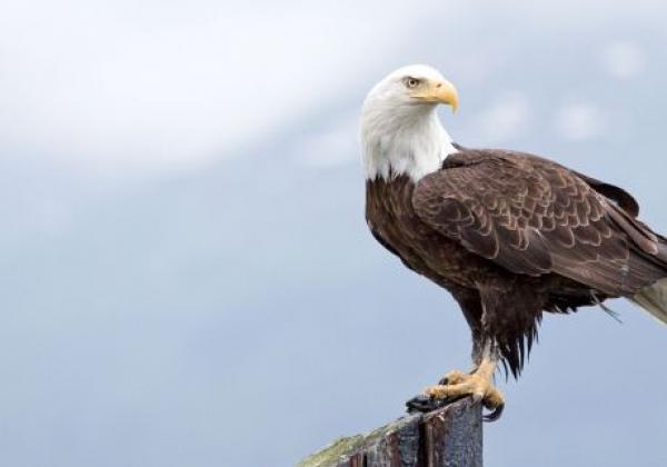 day-6---xl-day-11---bald-eagle-homer
