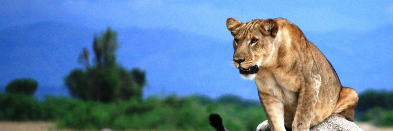 tag-4---löwen-im-queen-elizabeth-nationalpark