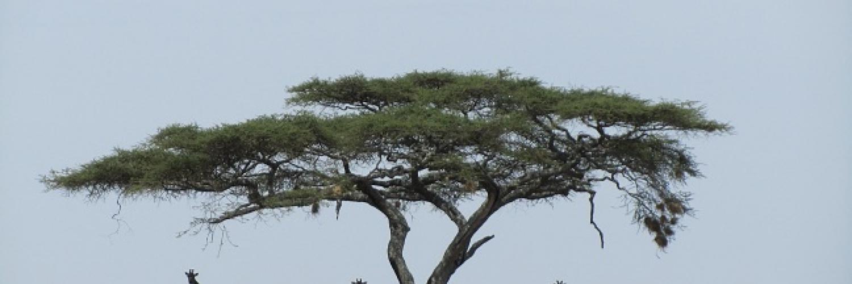 giraffes-serengeti-(klein)