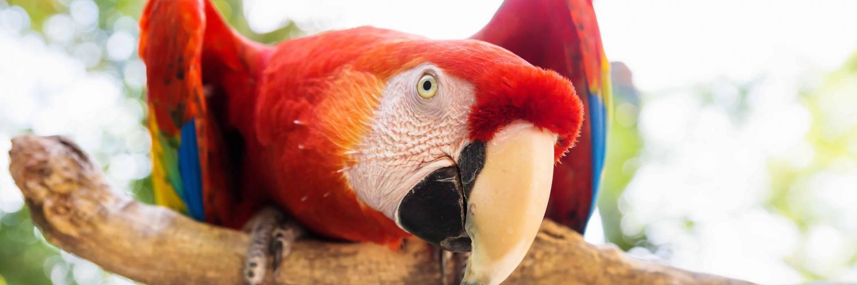 papagei-in-honduras