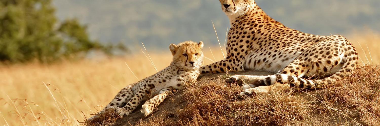 geparden-in-der-masai-mara