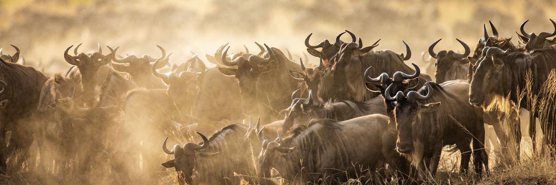 big-migration-gnus-in-kenia