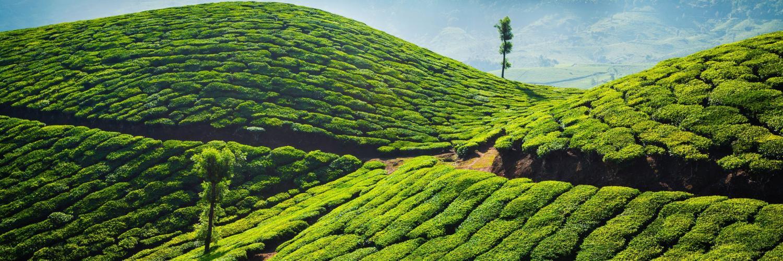 munnar-teeplantagen