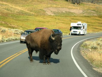 buffalo-yellowstone-credit-wyoming-travel-und-tourism